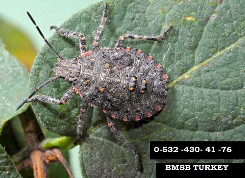 Halyomorpha Halys BMSB